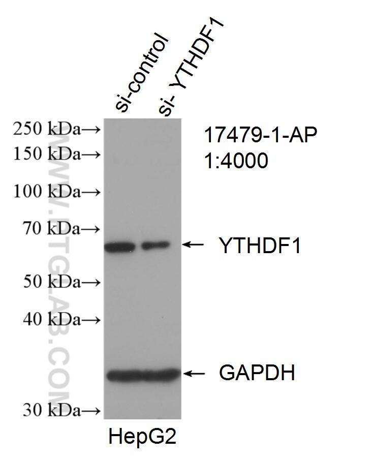 WB analysis of HepG2 using 17479-1-AP