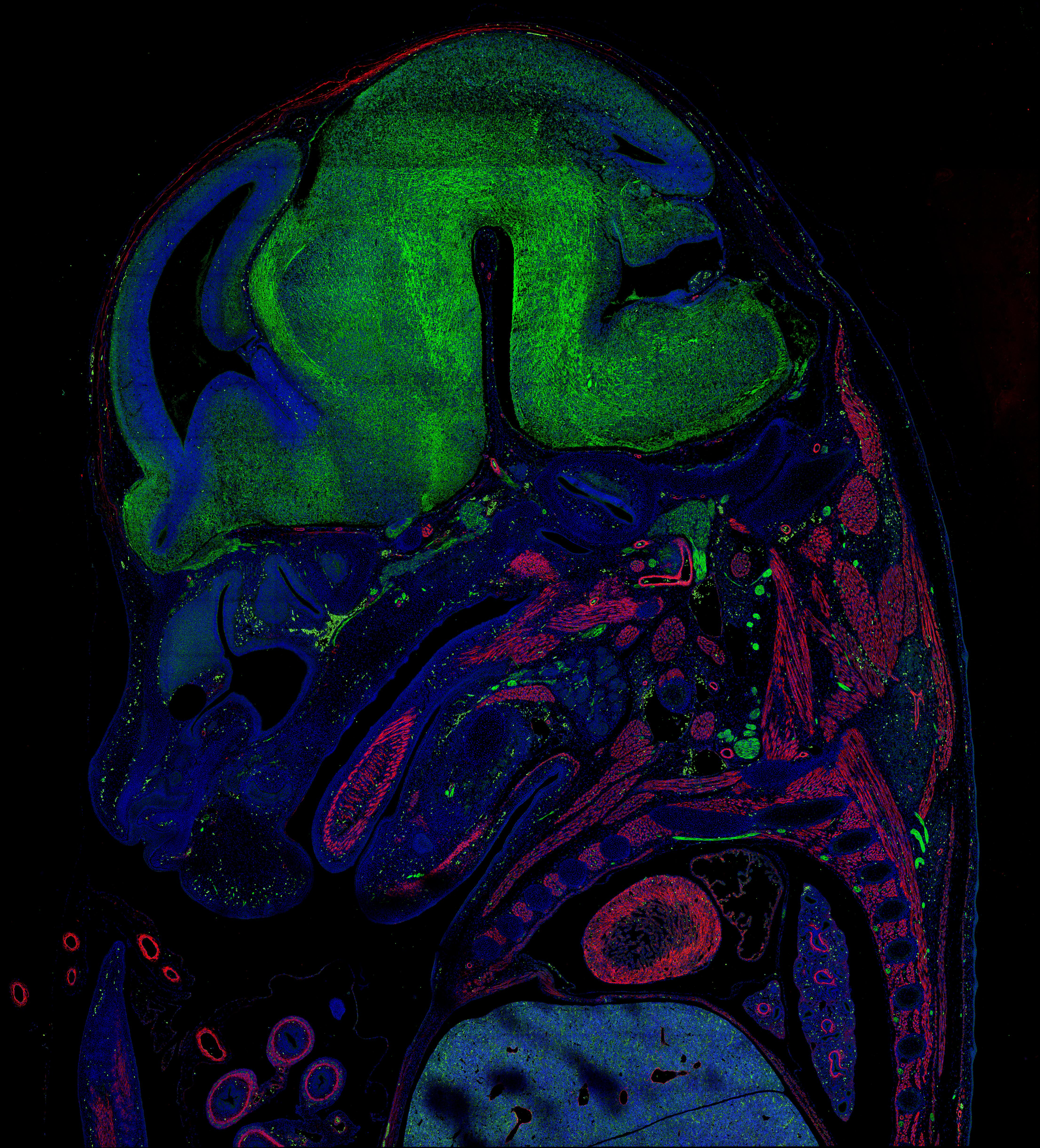 IF Staining of mouse embryo using CL488-66031