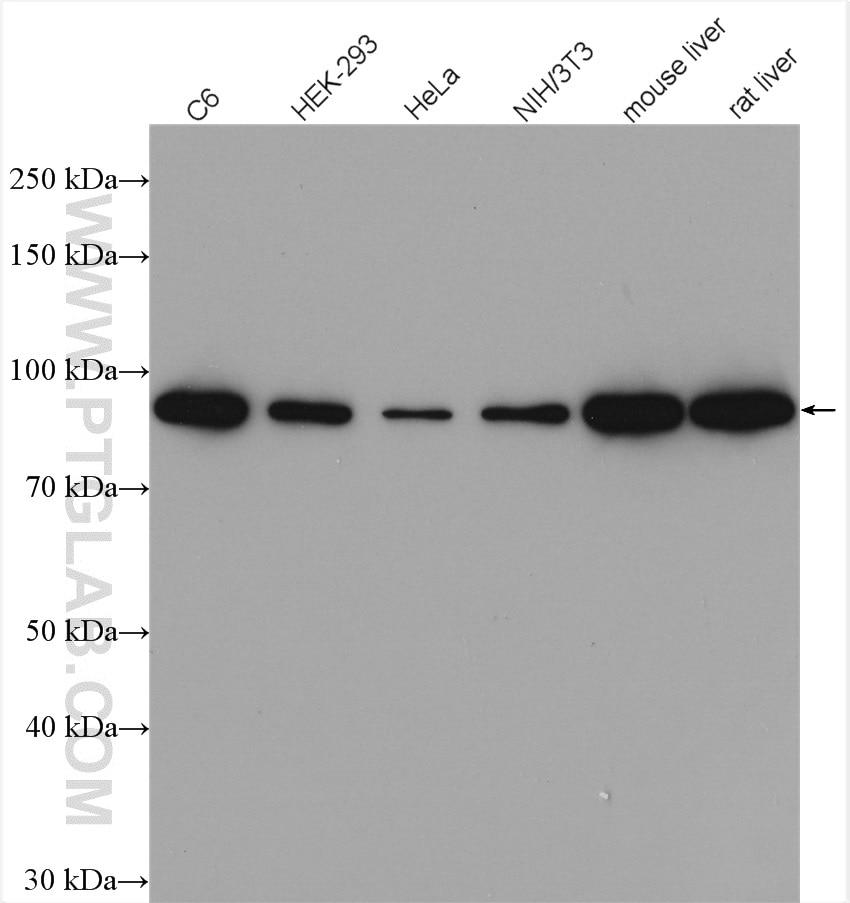 WB analysis using 17565-1-AP