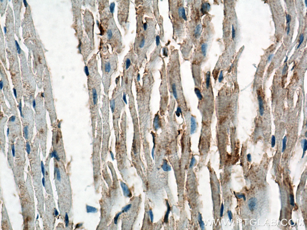 IHC staining of mouse heart using Biotin-60008