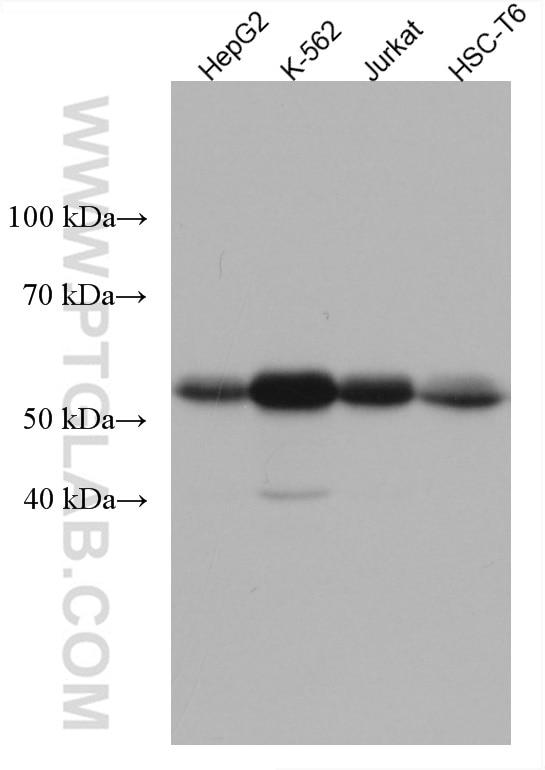 WB analysis using 67580-1-Ig