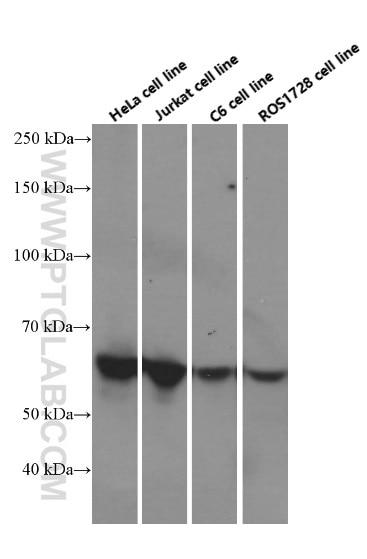 c-SRC Monoclonal antibody