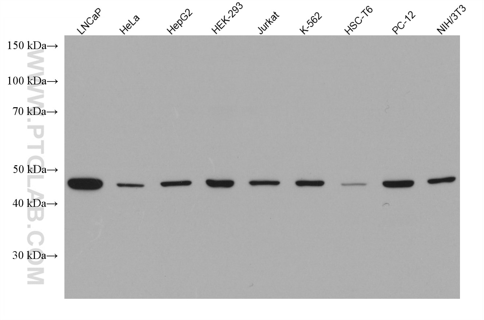 WB analysis of LNCaP using 67784-1-Ig