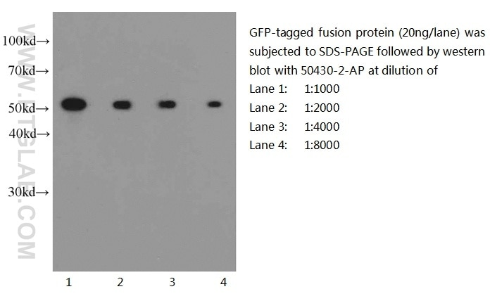 50430-2-AP;recombinant protein