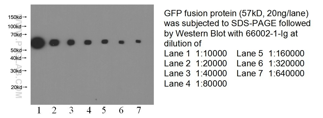 66002-1-Ig;recombinant protein