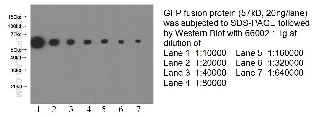 66002-1-Ig;recombinant protein protein