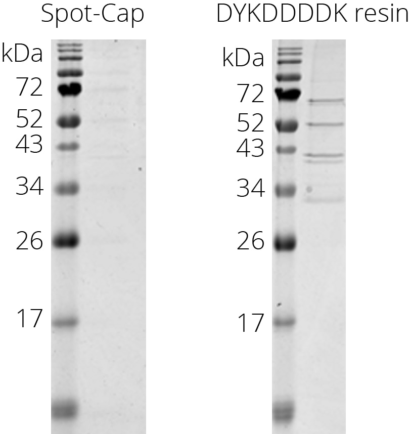 Spot-Cap has a higher selectivity than anti-DYKDDDDK resin. While Spot-Cap is optimized for minimal contamination of host cell proteins, the anti-DYKDDDDK resin binds significant amounts of mammalian proteins. Incubation of control HEK293T cell lysate expressing no tagged protein with Spot-Cap or anti-DYKDDDDK resin. Elution with 100 µM Spot-peptide or 0.1 g/L DYKDDDDK-peptide. Similar results were obtained for yeast, bacteria, and insect cell lysates (data not shown).