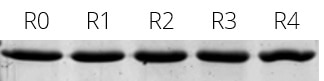 he elution efficiency of Spot-Cap is constant even after 4 regeneration cycles. Elution of Spot-tagged PCNA with Spot-peptide. R0: Reference (elution fraction of Spot-PCNA without regeneration); R1-R4: Elution fraction of Spot-PCNA after 1, 2, 3, and 4 regeneration cycles with 100 mM glycine pH 2.0.