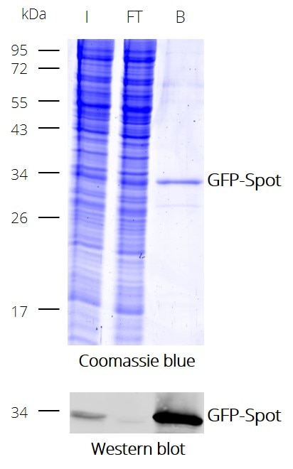 Immunoprecipitation (IP) of GFP with Spot-Trap Dynabeads: Coomassie and Western blot (I: Input, FT: Flow-Through, B: Bound).