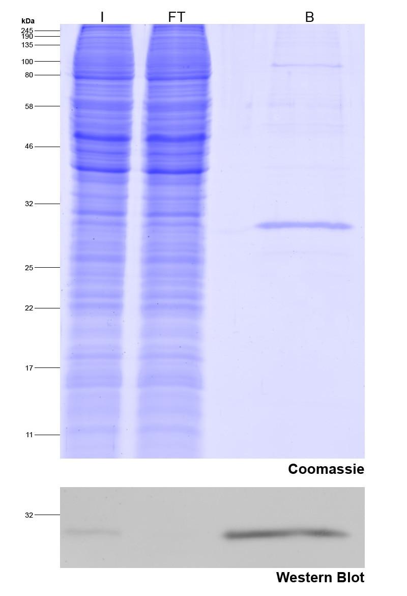 Immunoprecipitation of Spot-tagged protein.