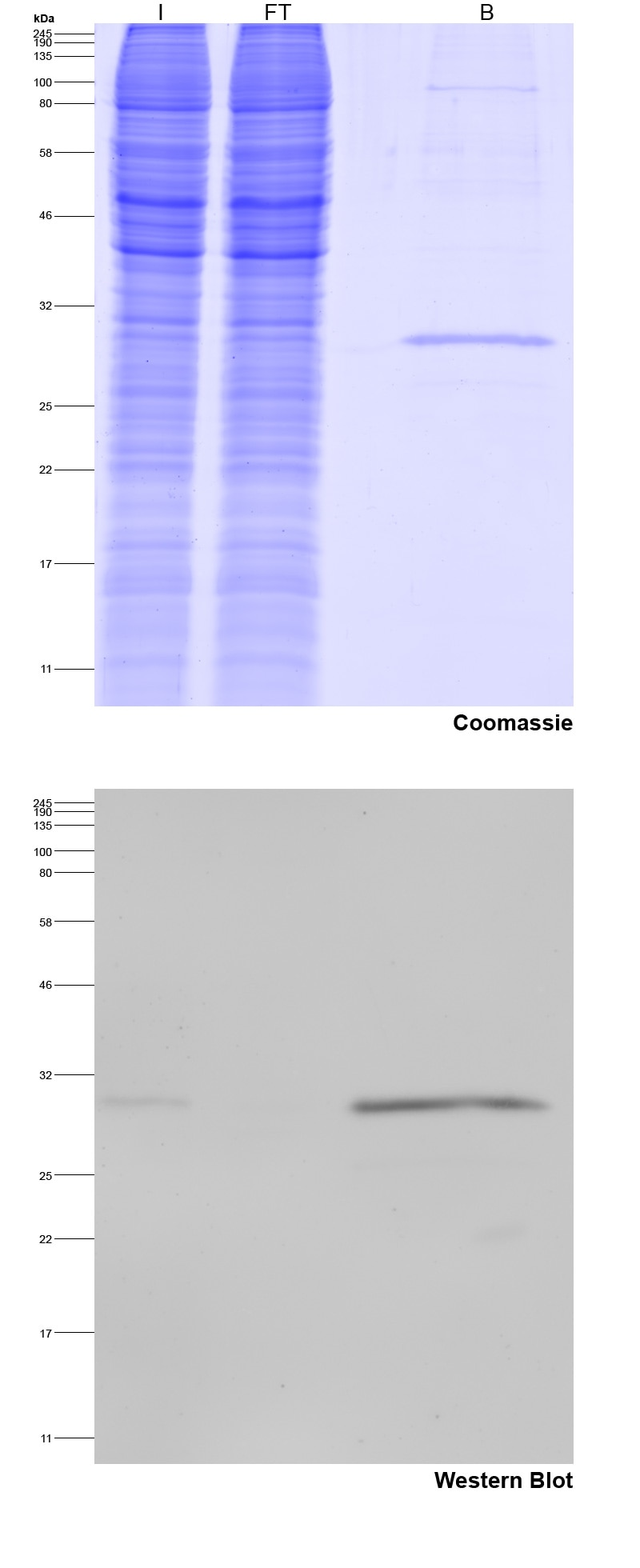 Spot-Trap Magnetic Agarose for immunoprecipitation of Spot-tagged proteins: Coomassie blue stained gel and Western blot I: Input, FT: Flow-Through, B: Bound.
