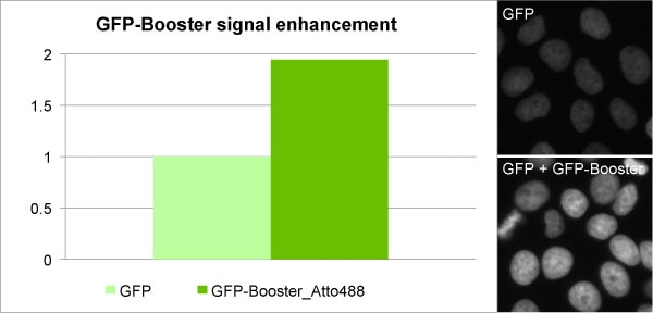 Enhancement of GFP signal with GFP-Booster Atto488: Comparison of signal intensity of a cell line stably expressing a nuclear GFP-fusion protein before and after GFP-Booster treatment.