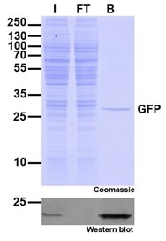 The immunoprecipitation (IP) validation of GFP with ChromoTek's GFP-Trap Agarose beads
