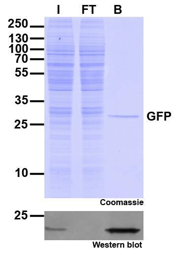 Immunoprecipitation of GFP with GFP-Trap Agarose beads. I: Input, FT: Flow-Through, B: Bound.
