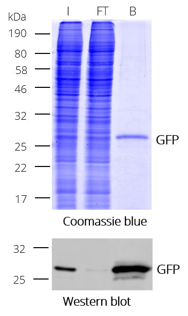 Immunoprecipitation (IP) of GFP with GFP-Trap Dynabeads. I: Input, FT: Flow-Through, B: Bound.