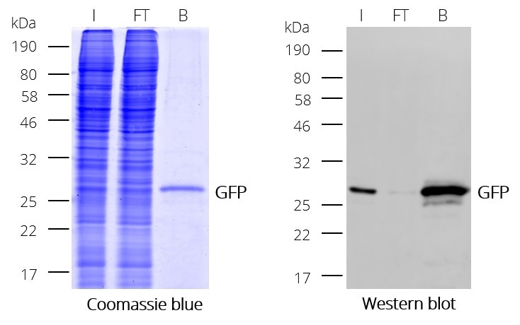 Immunoprecipitation (IP) of GFP with GFP-Trap Dynabeads: Coomassie and Western blot (I: Input, FT: Flow-Through, B: Bound).