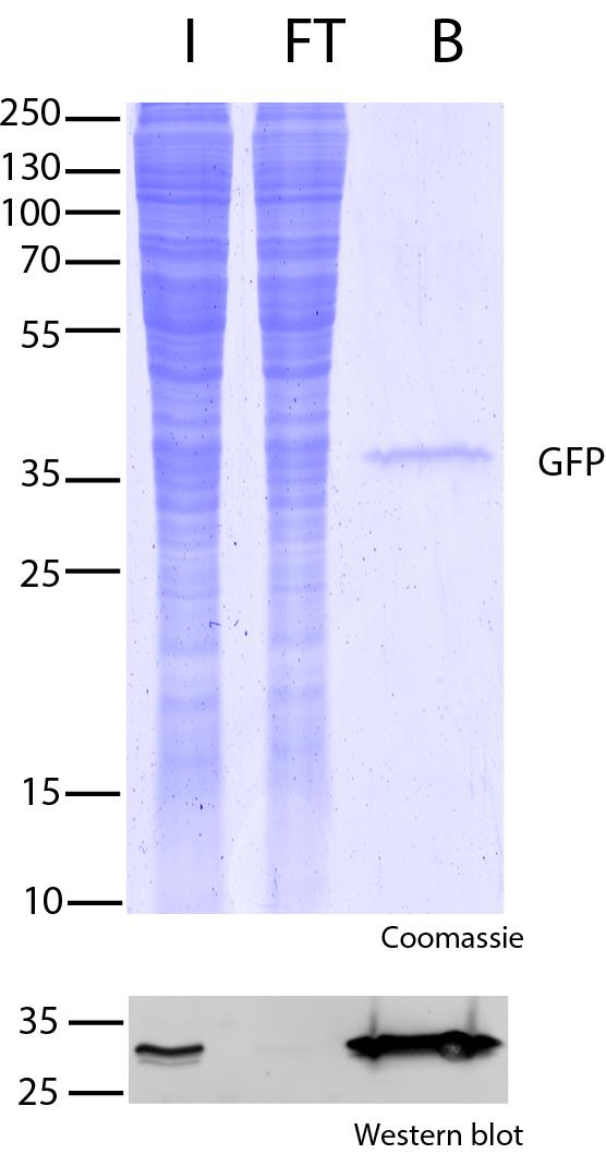 GFP-Trap Magnetic Agarose for immunoprecipitation of GFP-fusion proteins. Note single-band in bound fraction, which indicates a very effective pull-down. I: Input, FT: Flow-Through, B: Bound.