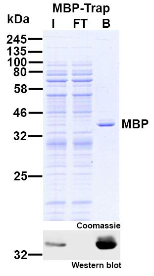 Immunoprecipitation of maltose binding protein (MBP) from E. coli cell extract. The Western blot shows the very high effectivity of the MBP-Trap: No MBP is left in Flow-Through lane. I: Input, FT: Flow-Through, B: Bound.