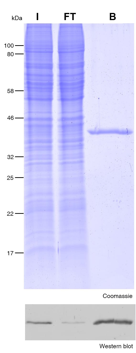Immunoprecipitation of Halo-tag protein with Halo-Trap. I: Input, FT: Flow-through, B: Bound.
