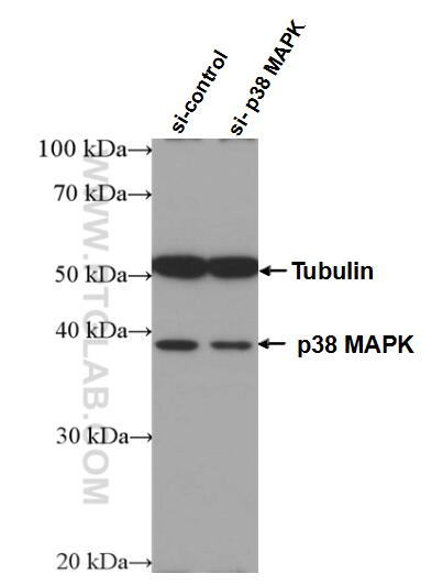 WB analysis of HEK-293 using 66234-1-Ig