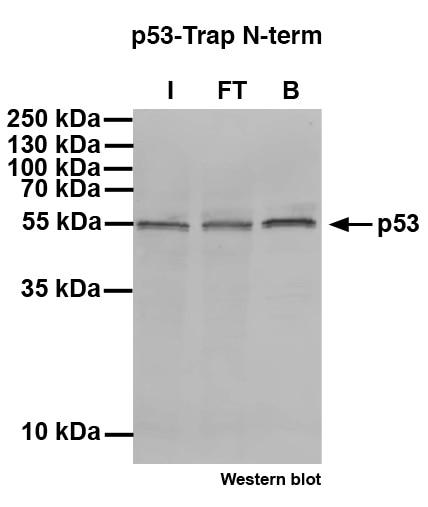 p53-N-term-Trap for immunoprecipitation of p53 isoform alpha, beta and gamma. I: Input, FT: Flow-through, B: Bound.