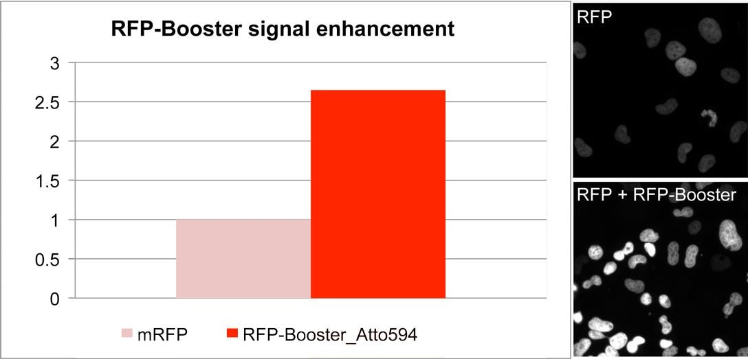 Enhancement of RFP signal with RFP-Booster_Atto594. Comparison of signal intensity of a cell line stably expressing a nuclear RFP-fusion protein before and after RFP-Booster treatment. Microscope: InCell1000.