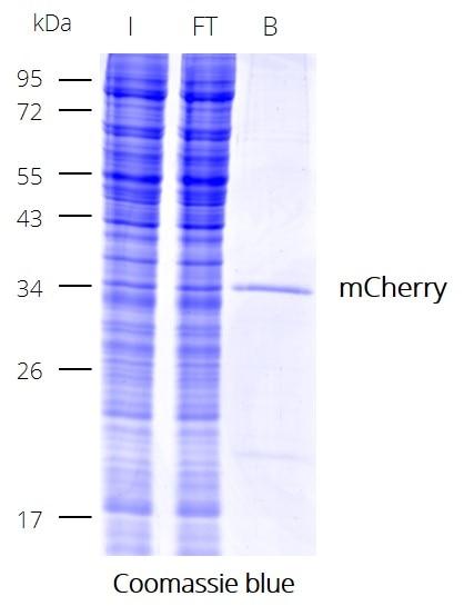 Immunoprecipitation (IP) of mCherry with RFP-Trap Dynabeads. I: Input, FT: Flow-Through, B: Bound