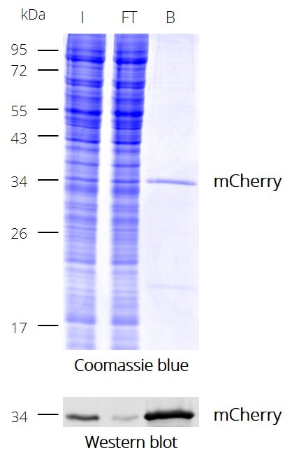 Coomassie and Western blot to show the effectivity of immunoprecipitation (IP) of mCherry with RFP-Trap Dynabeads. I: Input, FT: Flow-Through, B: Bound
