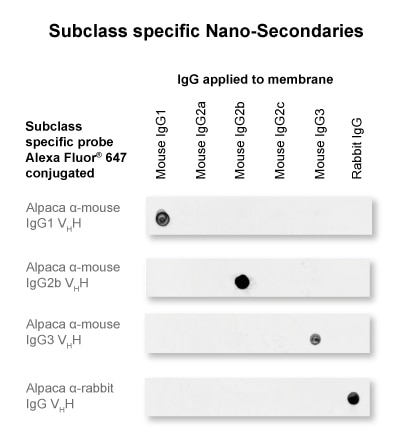 The anti-mouse IgG2b Nano-Secondary is subclass-specific and does not cross-react with IgGs from other commonly used species (here rabbit) and with mouse IgG1 and IgG3 subclasses.