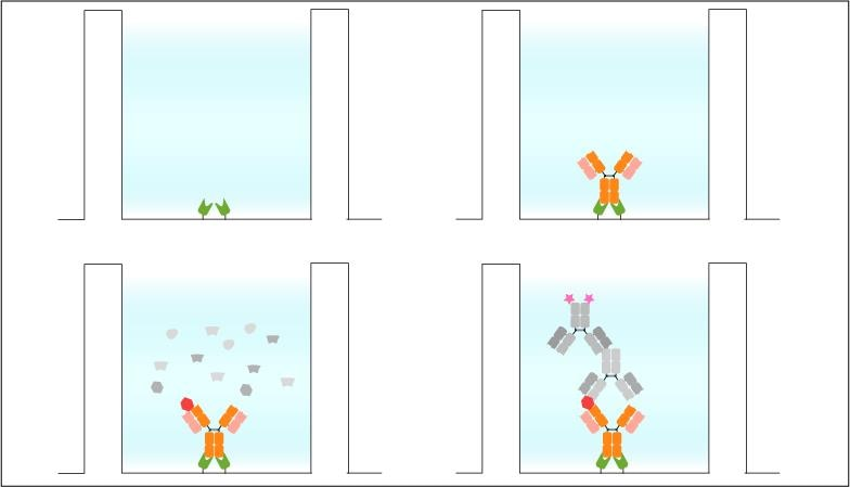 Sandwich ELISA: Immobilization of the Nano-CaptureLigand on streptavidin coated microplates for ELISA. No biotinylation of the antibody is required. Coating of the streptavidin microplate with Nano-CaptureLigand (top left). Site-directed antibody immobilization via Nano-CaptureLigand (top right). Addition of sample including target (red, bottom left). Addition of detection and secondary antibody for read-out (bottom right).