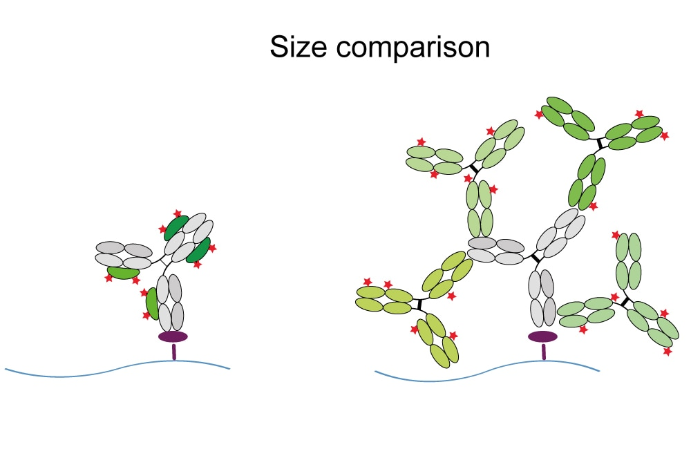 Higher resolution with anti-rabbit IgG Nano-Secondaries compared to conventional secondary antibodies: Left: Formation of a small, precise complex of Nanobodies (green) & primary antibody (grey). Right: Formation of a large, arbitrary complex of multiple polyclonal secondaries (green) & primary rabbit antibody.