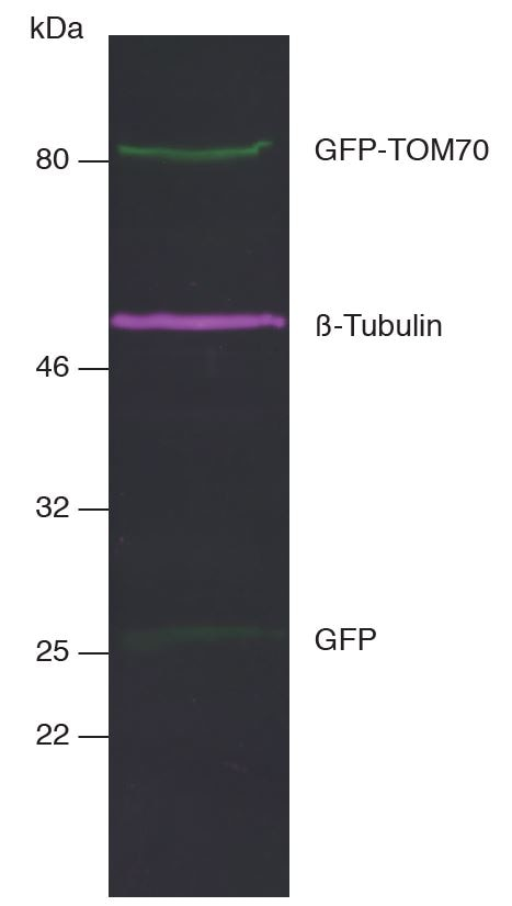 Multiple Nano-Secondaries can be applied for multiplex fluorescent Western blotting. This allows multiple targets to be analyzed simultaneously on the same blot at the same time. Multiplex fluorescent Western blot of GFP-TOM70, ®-Tubulin, and GFP in HEK293T cell lysate. Western blot membrane was simultaneously incubated with primary antibodies and Nano-Secondaries. Green: rabbit anti-GFP (ChromoTek PABG1) + alpaca anti-rabbit IgG VHH Alexa Fluor® 488. Magenta: mouse anti-®-Tubulin + alpaca anti-mouse IgG2b VHH Alexa Fluor® 647.