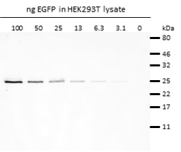 Western blot analysis of EGFP (EGFP-250, ChromoTek) added to HEK293T cell lysate. Detection with rabbit anti-GFP antibody PABG1 (ChromoTek) and alpaca anti-rabbit IgG VHH Alexa Fluor® 488.