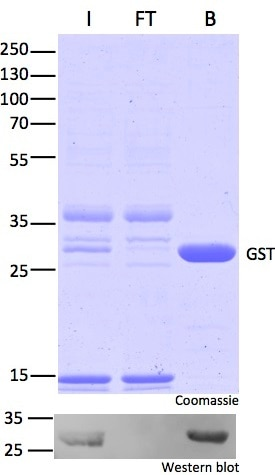 Pull-down of GST with GST-Trap Agarose: Coomassie and Western blot; Immunoprecipitation of GST with GST-Trap. Note effective pull-down of GST-fusion proteins: No GST-fusions left in non-bound (FT) lane in Western Blot. I: Input, FT: Flow-Through, B: Bound.