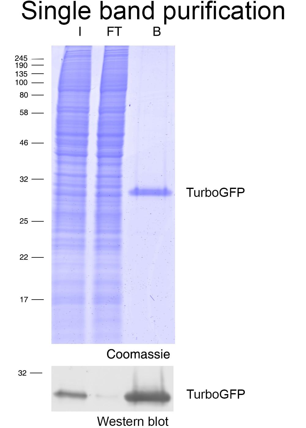 Immunoprecipitation of TurboGFP with Turbo-GFP-Trap