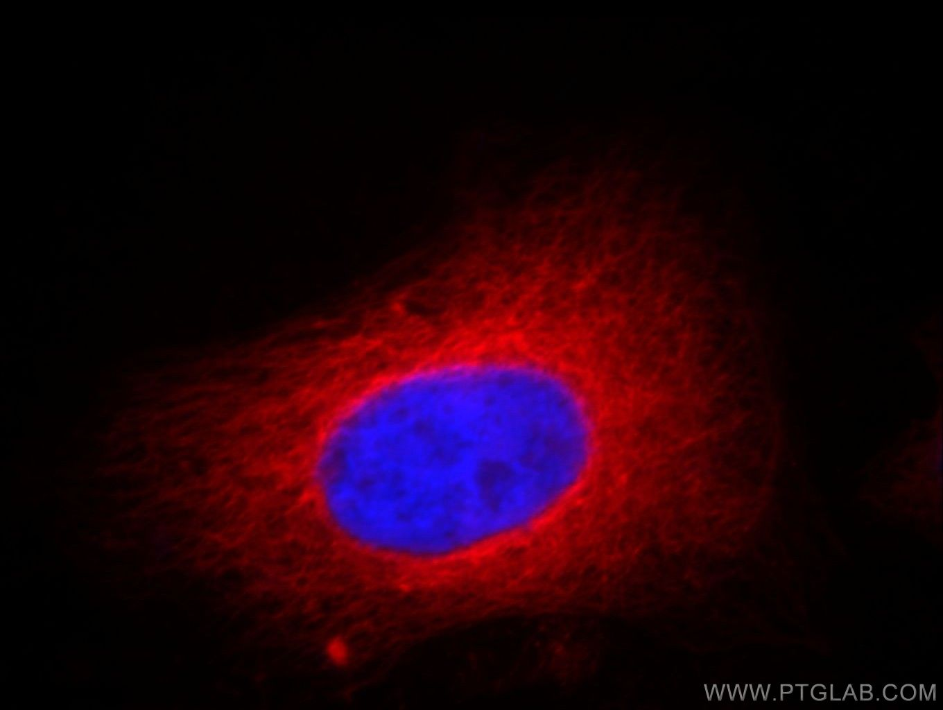 Tubulin-Alpha Immunofluorescence IF 66031-1-Ig Tubulin-Alpha Antibody K-ALPHA-1
