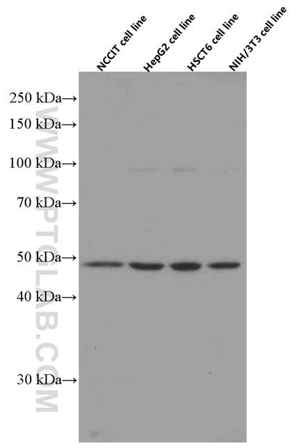 WB analysis using 66320-1-Ig