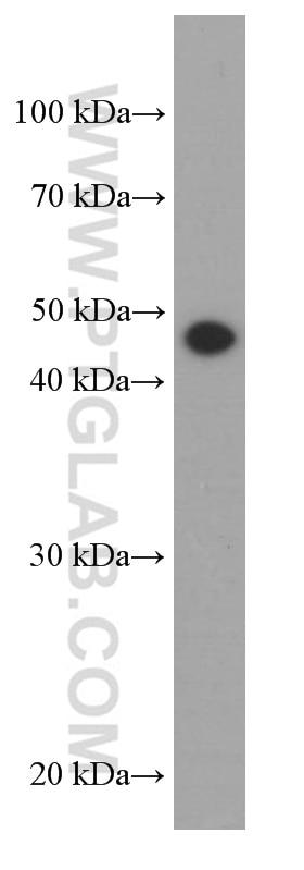 66320-1-Ig;HepG2 cells