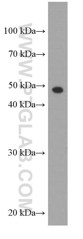 66320-1-Ig;EC109 cells