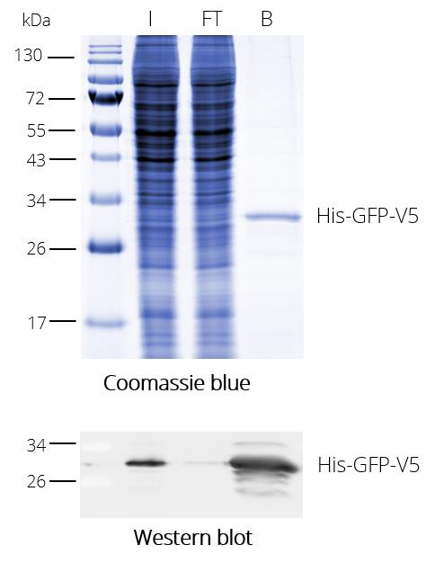 V5-Trap for immunoprecipitation of V5 fusion proteins. HEK293T cell lysate with V5-tagged protein. Coomassie and Western blot. V5-tag antibody [SV5-P-K], monoclonal mouse IgG1 kappa and Alpaca anti-mouse IgG1, Fc-specific recombinant VHH, Alexa Fluor® 488 I: Input, FT: Flow-Through, B: Bound.