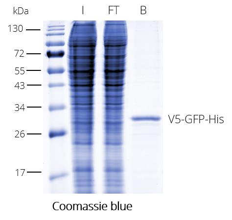 V5-Trap Agarose for pull-down. The V5-tag is N-terminal. I: Input, FT: Flow-Through, B: Bound.