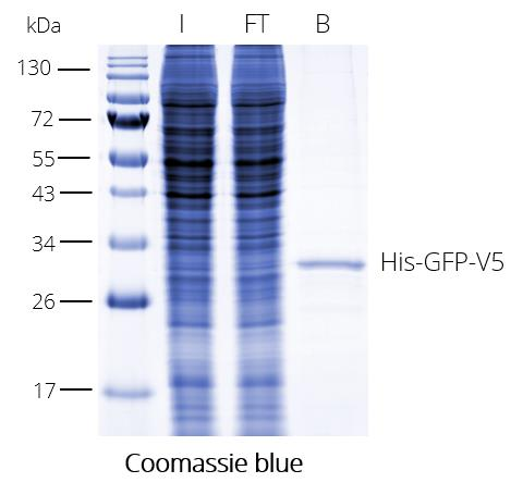 V5-Trap Agarose for immunoprecipitation of V5-tagged proteins. The V5-tag is C-terminal. I: Input, FT: Flow-Through, B: Bound.