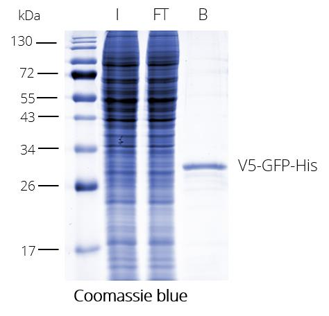 V5-Trap Magnetic Agarose for pull-down of V5-tagged proteins. V5 at the N-terminus. I: Input, FT: Flow-through, B: Bound.