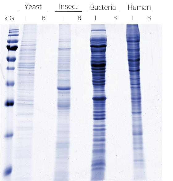 Very low background of V5-Trap Magnetic Agarose: IP from different cell lysates without V5-tagged protein.