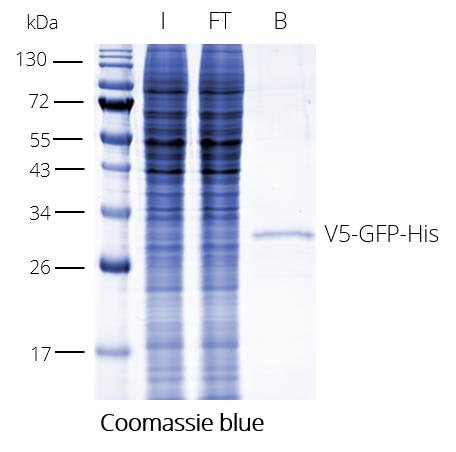 V5-Trap Magnetic Agarose for pull-down of V5-tagged proteins. I: Input, FT: Flow-through, B: Bound.