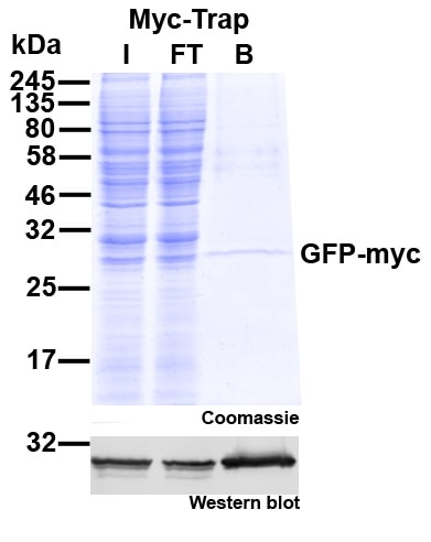 Myc-Trap Agarose for immunoprecipitation of Myc-tagged proteins.