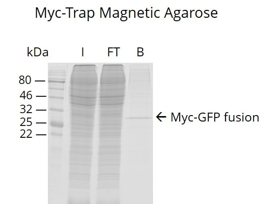 Myc-Trap Magnetic Agarose for pull-down of Myc-tagged proteins.