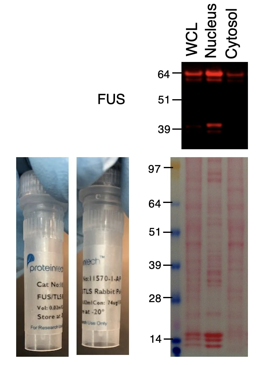FUS/TLS Antibody Western Blot validation (1:2000 dilution) in HCT116 (Cat no:11570-1-AP)