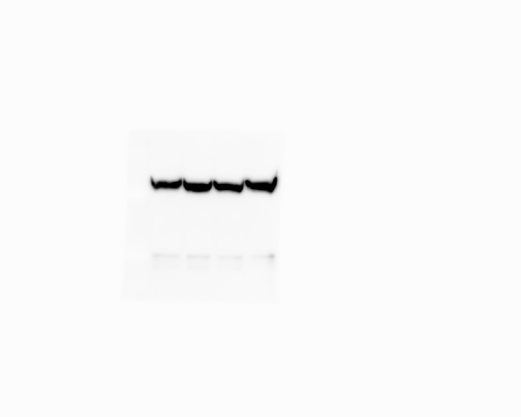 HRP-conjugated beta Actin Antibody Western Blot, validation (1:10,000 dilution) in human colorectal cancer cell line (Cat no:HRP-60008)