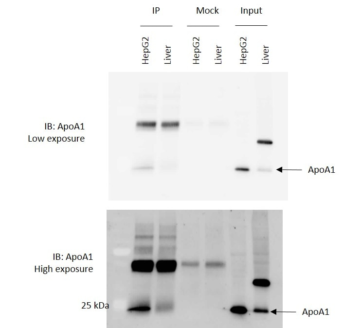 Apolipoprotein AI Antibody Western Blot,Immunoprecipitation, validation (WB 1/1000 dilution) in HepG2 / Mouse Liver (Cat no:14427-1-AP)